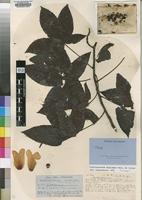 Bixaceae — The Plant List